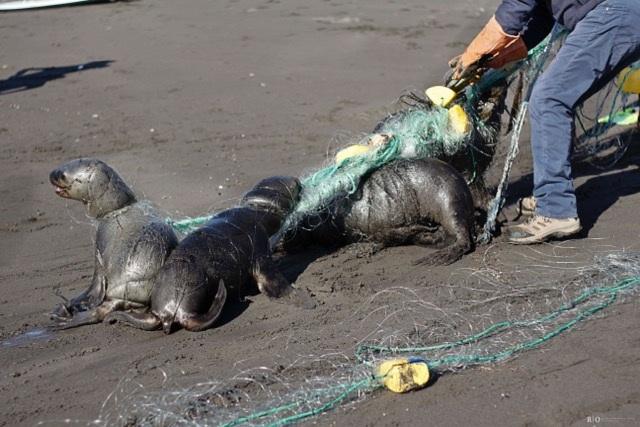 En Matanzas Sernapesca junto a pescadores locales logran liberar a cuatro lobos marinos juveniles atrapados en red de pesca